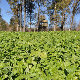 Turbo Turnip — Deer Food Plot Seed