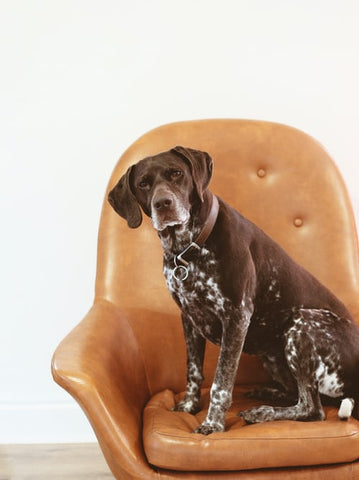 Dog on leather chair