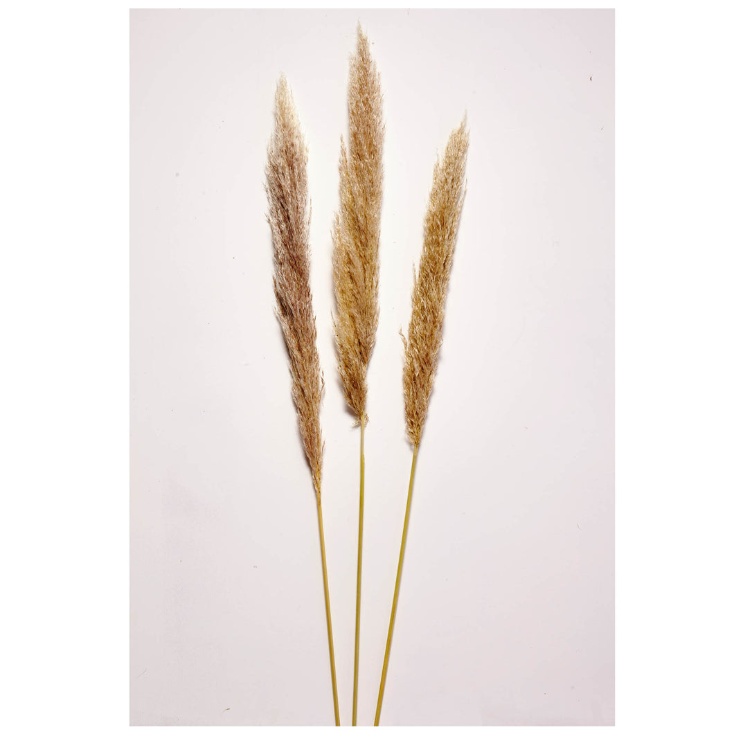 Pampas Grass x 3 stems