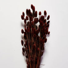 Load image into Gallery viewer, Dried Phalaris bunch, Brown