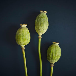 Dried Poppy Seed Head (Large) x 3
