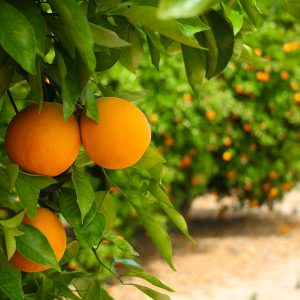 1KG Certfied Organic  Navel Oranges - new farm supply
