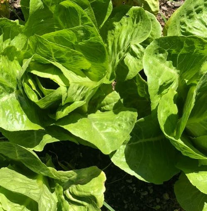 Spray Free Lettuce - organically grown Lettuces (small)