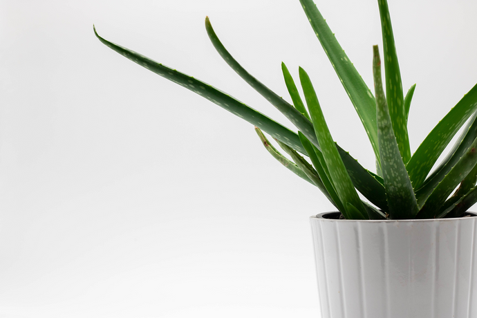 Why We Love Aloe Vera