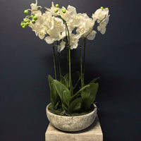 Large White Orchid Phalaenopsis Plants In Stone Effect Bowl | Annie Mo