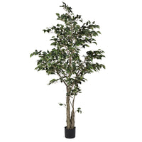 Variegated Ficus Tree In Black Plastic Pot | Annie Mo's