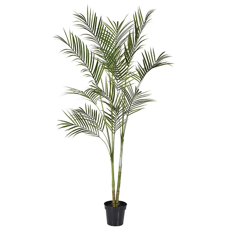 Green Areca Palm In Black Plastic Pot