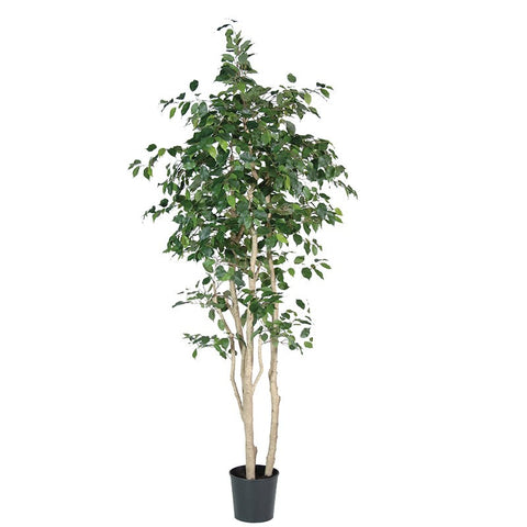 Giant Green Multi-Stem Ficus Tree In Black Plastic Pot | Annie Mo's