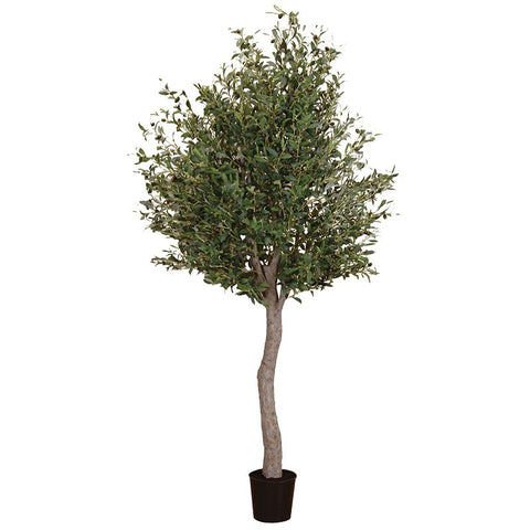 Natural Giant Olive Tree In Black Plastic Pot | Annie Mo's