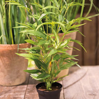 Bamboo in Pot 45cml | Annie Mo's