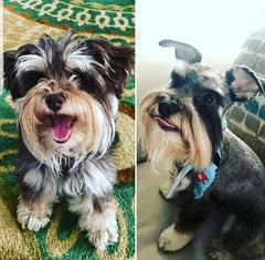 Dog Scottish Terrier Before and After Groomer
