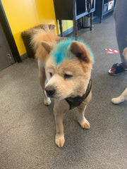 Chow Dog Breed Grooming Hotel Best Dogs