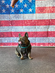 French Bulldog for Dog Hotel and Overnight Stays