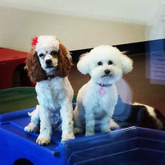 Dog Grooming and Doggie Daycare small dogs playing
