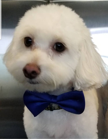 Miniature Poodle Dog Grooming Haircut