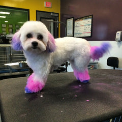 Miniature Poodle Dog in Groomers Salon Dye and Haircut