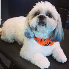 Shih Tzu Dog Grooming Haircut Breed