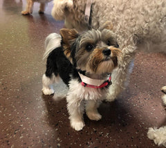 Yorkie in Doggie Daycare with Dog Grooming