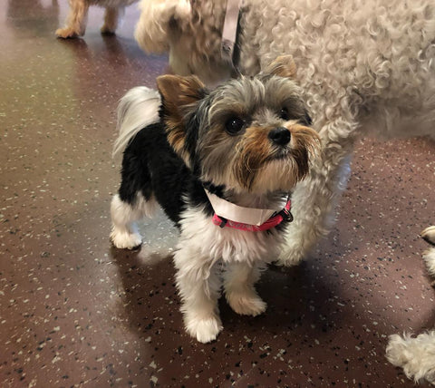 Yorkshire Terrier Dog in Doggie Daycare