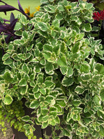 Variegated Swedish Ivy ~ Trailing Plant ~ Foliage Leaf Plant ~ Container Plant ~ Ground Cover Plant