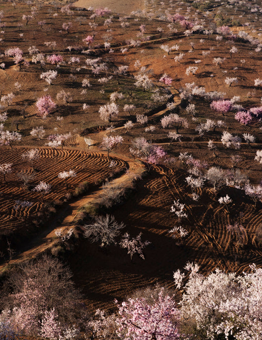 Almond trees from Alpujarras