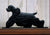 American Cocker Spaniel Dog in Gait Topper Black