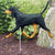 Coonhound Black and Tan Garden Landscaping Stake Standard