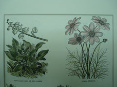 Botanical of Convallaria, Cosmos, Collomia, Corypha, Convolvulus, Cosmidium and Cordyline plants, N/A, 1890, N/A