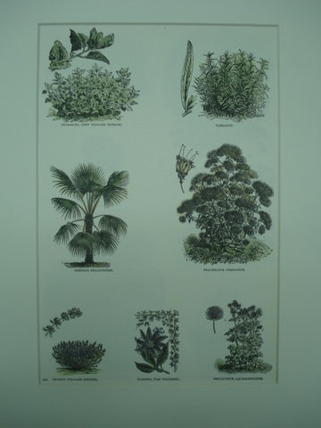 Botanical of species of Tetragona, Tarragon, Thrinax, Trachelium, Thymus, Tacsonia and Thalictrum plants, 1890, N/A