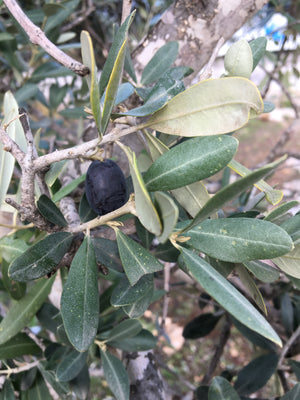 The Olive: God's Symbol of Peace, Light, Hope & Healing