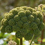 Angelica Seed (Angelica archangelica) - simple HomeGrown Herbalist angelica herb simple single