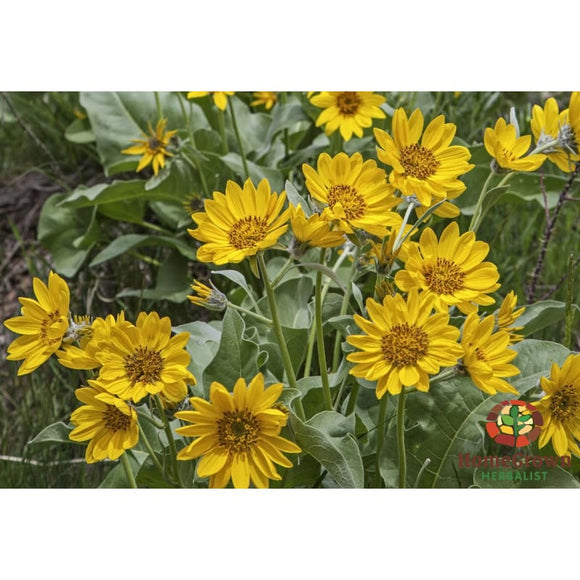 Arrow Leaf Balsam Root (Balsamorhiza sagittata) - simple HomeGrown Herbalist angelica herb simple single