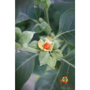 Ashwagandha (Withania somnifera) - simple HomeGrown Herbalist Ashwagandha herb simple single