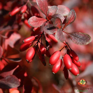 Barberry (Berberis vulgarus) - simple HomeGrown Herbalist Barberry herb simple single