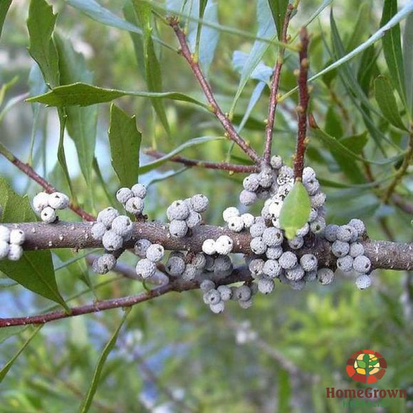 Bayberry (Morella cerifera) - simple HomeGrown Herbalist Bayberry herb simple single