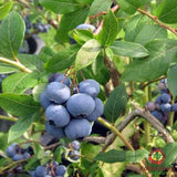 Bilberry (Vaccinium myrtillus) - simple HomeGrown Herbalist Bilberry herb simple single