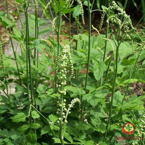 Black Cohosh (Cimicifuga racemosa) - simple HomeGrown Herbalist Black Cohosh herb pain simple single