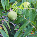 Black Walnut (Juglans nigra) - simple HomeGrown Herbalist Black Walnut herb simple single topical