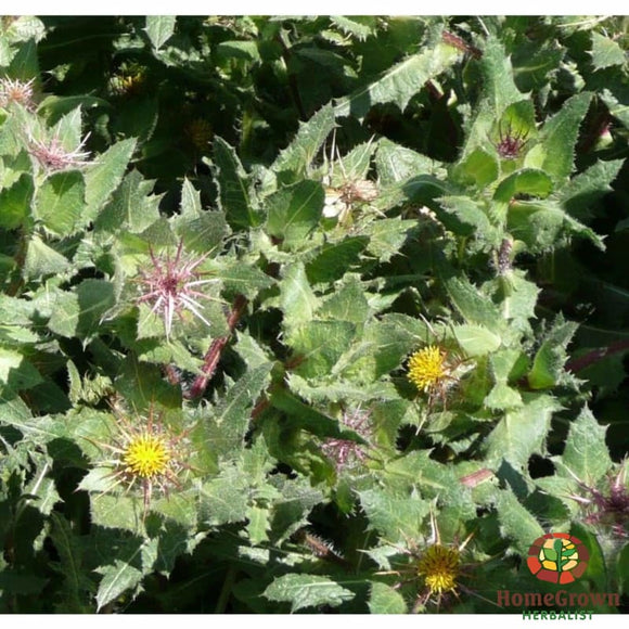 Blessed Thistle (Cnicus benedictus) - simple HomeGrown Herbalist Blessed Thistle herb simple single