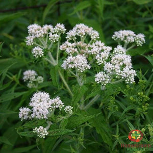 Boneset (Eupatorium perfoliatum) - simple HomeGrown Herbalist Boneset herb simple single