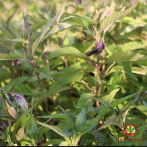 Bugleweed (Lycopus virginicus) - simple HomeGrown Herbalist Bugleweed herb simple single