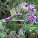 Burdock Root (Arctium lappa) - simple HomeGrown Herbalist Burdock herb root simple single