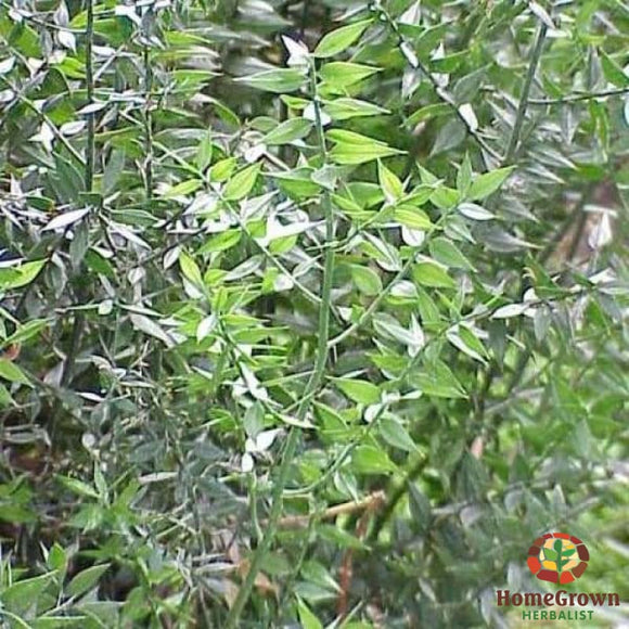 Butchers Broom (Ruscus aculeates) - simple HomeGrown Herbalist Butchers Broom herb simple single
