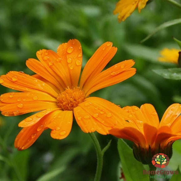 Calendula (Calendula officinalis) - simple HomeGrown Herbalist Calendula herb simple single topical