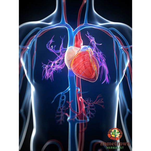 Cardiovascular System Part 1: Anatomy & Physiology - Learning Modules Homegrown Herbalist