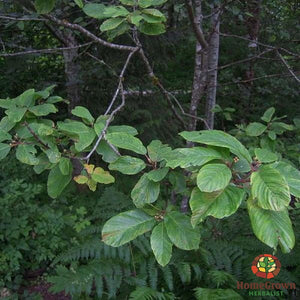 Cascara sagrada (spp.) - simple HomeGrown Herbalist Cascara herb simple single