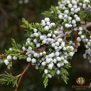 Cedar Berry (Juniperus monosperma) - simple HomeGrown Herbalist Cedar Berry herb simple single