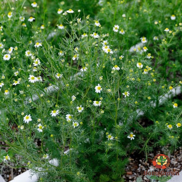 Chamomile (M. recutita and C. nobile) - simple HomeGrown Herbalist Chamomile herb pain simple single