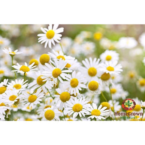 Chamomile Monograph - Audio File - Homegrown Herbalist