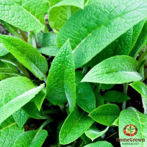 Comfrey (Symphytum spp.) - simple HomeGrown Herbalist comfrey herb root simple single